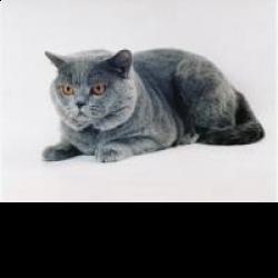 Британская короткошёрстная - описание породы кошки: фото, характер ... | 250x250
