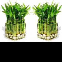 Купить бамбук цветы живые цветы для женщины козерога