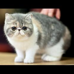 Отзывы коты экзоты