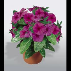Катарантус цветок комнатный