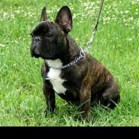 порода собак фото бульдог