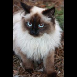 Балинезийская кот фото