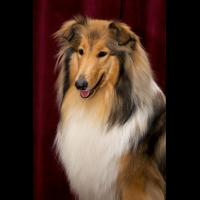 колли порода собаки фото