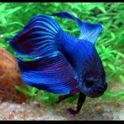 Бойцовая рыбка 2