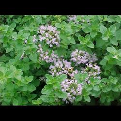 Пряные травы, ароматические растения. Использование. Фото.