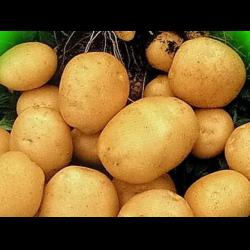 фото картофель гала