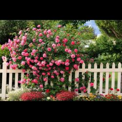 Чайная роза фото кустарник