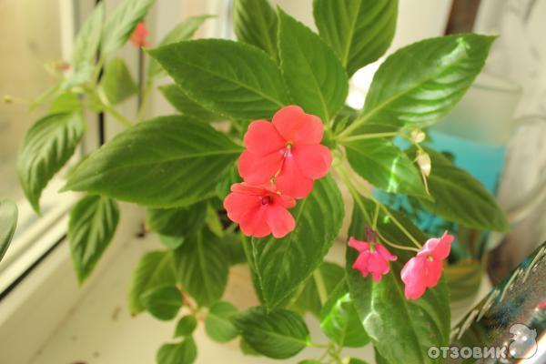 Комнатные растения фото и названия хрусталик странице