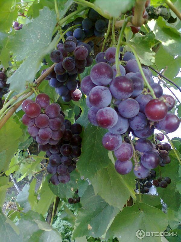 лидия виноград описание и отзывы фото транспорт ущелье