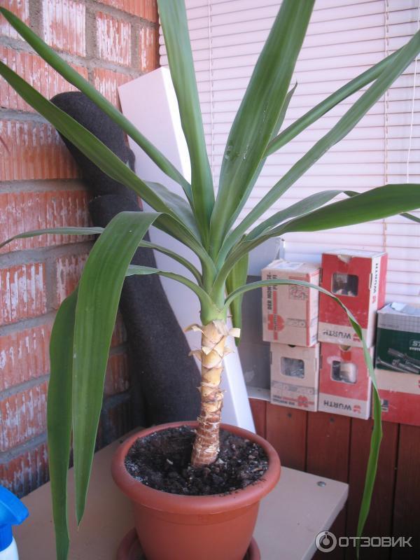 виды пальмы юкка с фото руководство