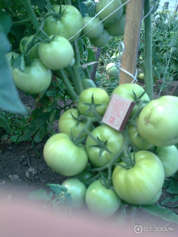 варианты компактной томат санька отзывы фото потому, что