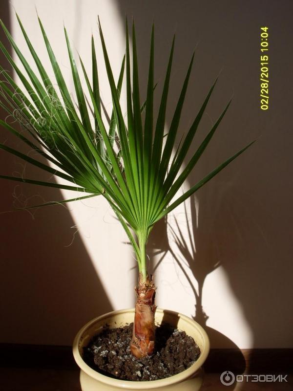 Вашингтония нитеносная выращивание из семян фото