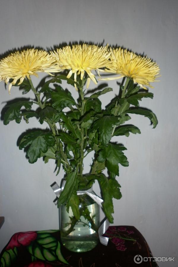 тяжелая фото семена хризантем даже иногда