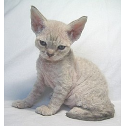 порода кошки рекс